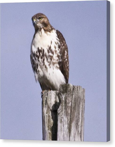 The Hawk Canvas Print by Valerie Wolf