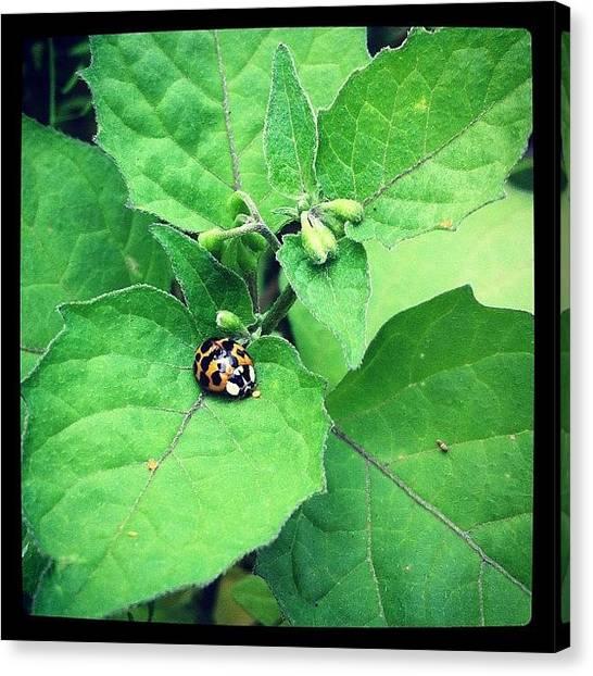Ladybugs Canvas Print - The Lady Bug #leaves #bug #green by Sebastiaan Van der Graaf