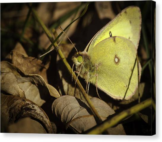 Sulfur Butterfly Canvas Print - The Last Butterfly by Thomas Young