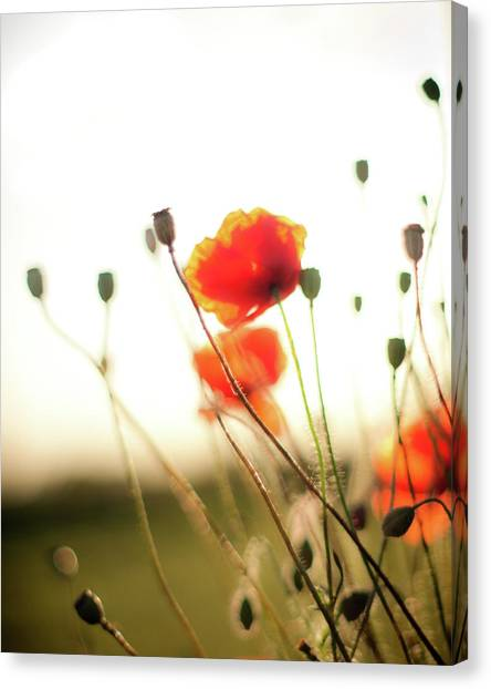 The Last Poppies Of Summer 1 Canvas Print