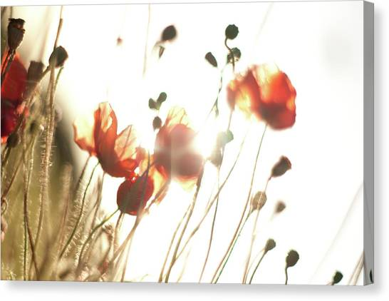 The Last Poppies Of Summer 2 Canvas Print