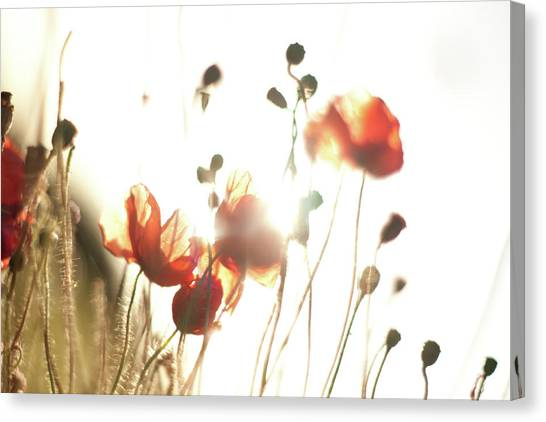 The Last Poppies Of Summer 3 Canvas Print