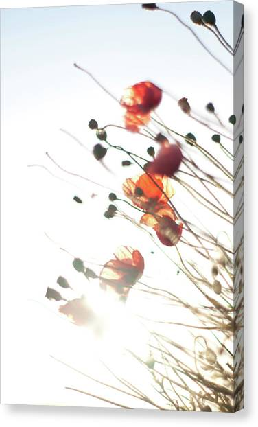 The Last Poppies Of Summer 4 Canvas Print