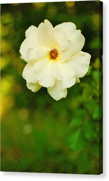 The Last Rose Canvas Print by Robin Morse