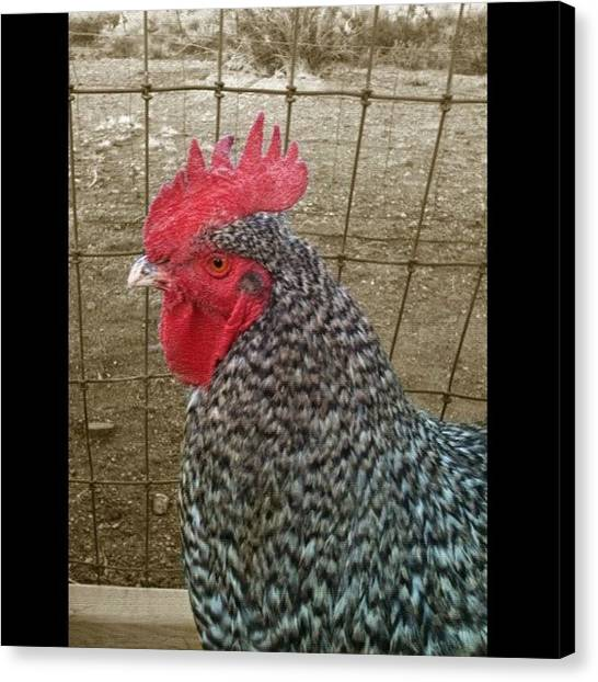 Roosters Canvas Print - The Man Of Coop 🐔 by Jennifer OHarra