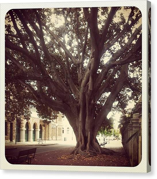 Australian Canvas Print - The Oldest Tree On The Street And Haunted by Shirley  Sutandhio
