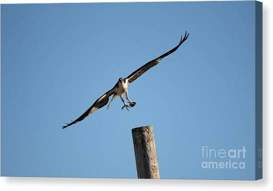 The Osprey's First Catch Collection Image I Canvas Print by Scenesational Photos