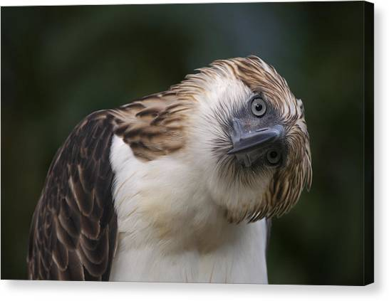 And Threatened Animals Canvas Print - The Philippine Eagle Twists Its Head by Klaus Nigge