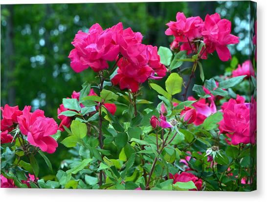 The Rose Garden Canvas Print by Tanya Tanski