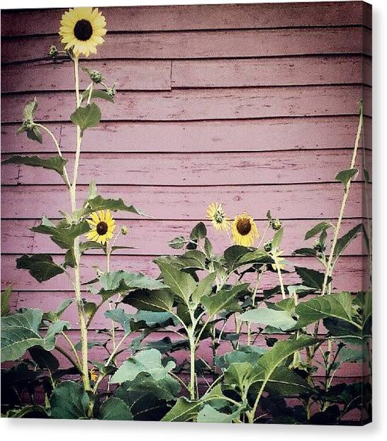 Sunflowers Canvas Print - The Sunflower Family by Tina Marie
