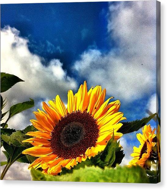 Sunflowers Canvas Print - The Sunflowers Are About To Arrive by Urs Steiner