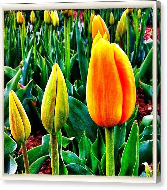 Tulips Canvas Print - The Tulip Family by Urs Steiner