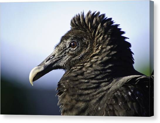 The Vulture Canvas Print