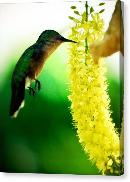 The Wingless Hummer Canvas Print