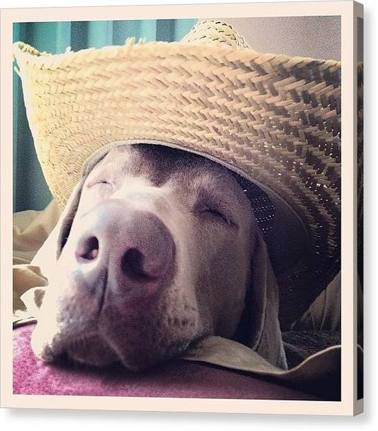 Weimaraners Canvas Print - There Is A New Sherif In Town And He Is by Suzanne Pettigrew