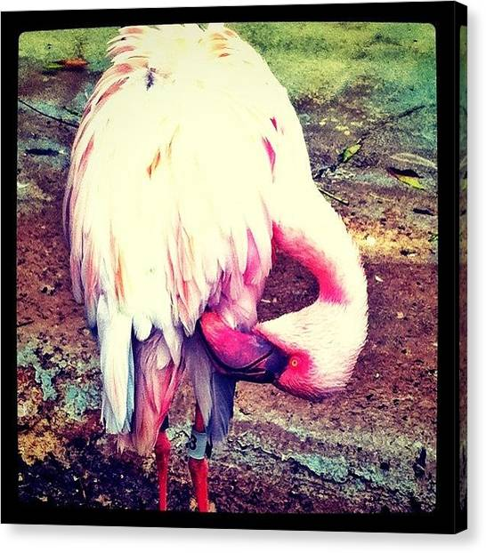 Flamingos Canvas Print - There Was Something Important Back by Krysten Sorensen