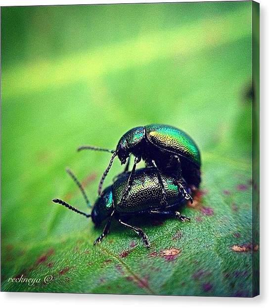 Beetles Canvas Print - These Beetles Cause A Lot Of Damage To by Willem Smit