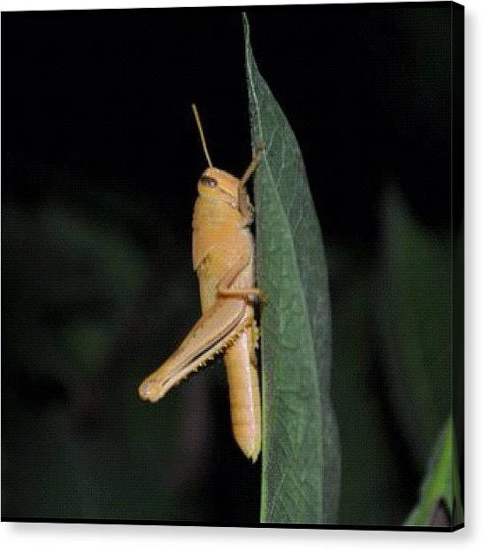 Grasshoppers Canvas Print - This Is My Fav Pic I've Done by Mary  Hudgensrobles