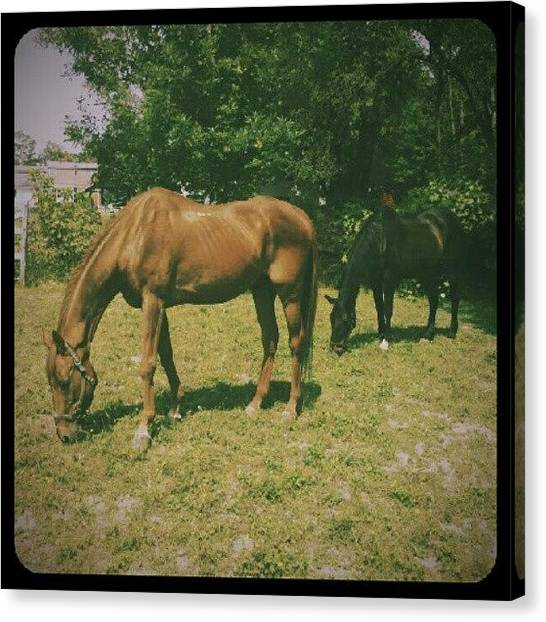 Thoroughbreds Canvas Print - This Is My Horse Vinnie. I Had Him 22 by Natalia D