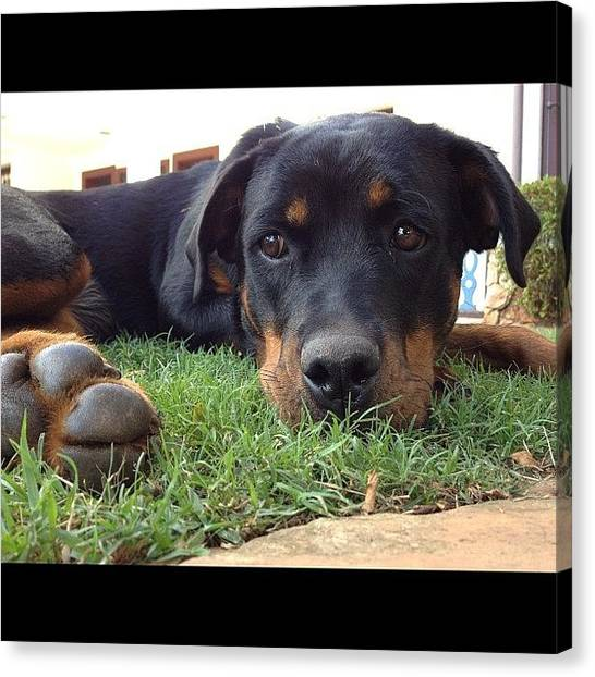 Rottweilers Canvas Print - This Is My New #rottie! Her Name Is by Adriana Guimaraes
