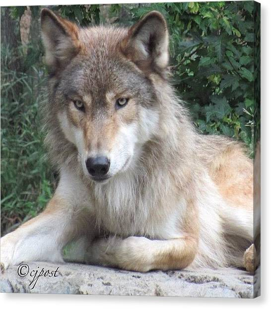 Wolves Canvas Print - This Is The Same Wolf That Was Sticking by Cynthia Post