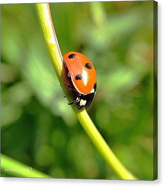 Ladybugs Canvas Print - This Ladybug Was Very Slow And Was by Willem Smit