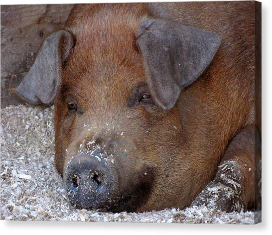 This Little Piggy Took A Nap Canvas Print