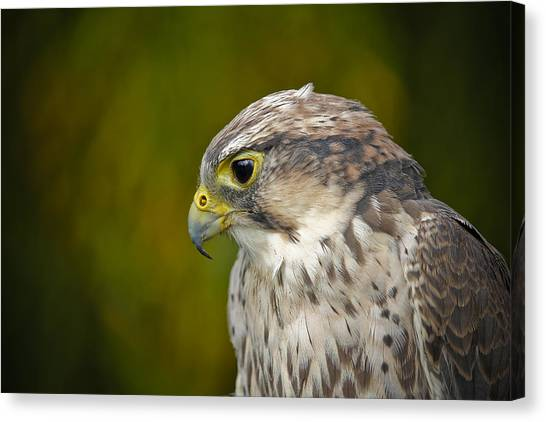 Thoughtful Kestrel Canvas Print
