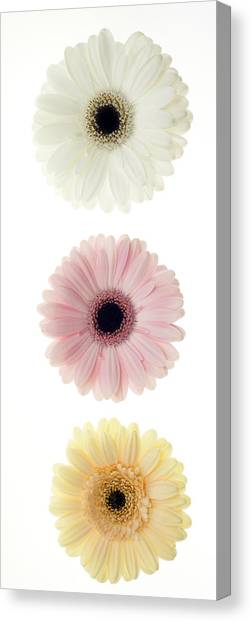 Three Gerber Daisies Canvas Print by Brad Rickerby