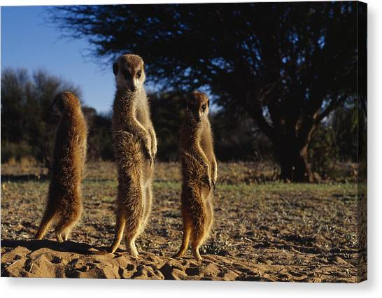 Republic Of South Africa Canvas Print - Three Meerkats With Paws Poised Neatly by Mattias Klum