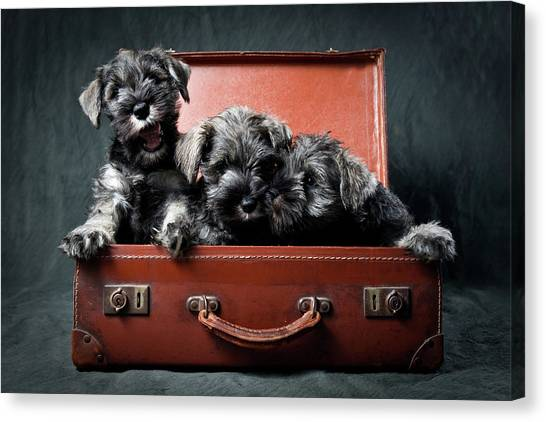 Schnauzers Canvas Print - Three Miniature Schnauzer Puppies In Old Suitcase by Steve Collins / momofoto