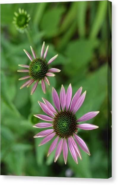 Three Stages Of A Coneflower Canvas Print