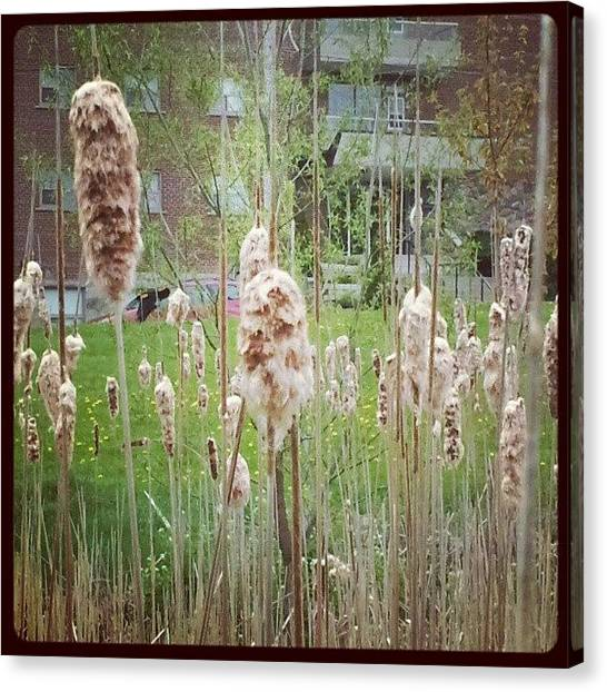 Marshes Canvas Print - Through The Bullrushes. #redwinged by Tara Hebbes