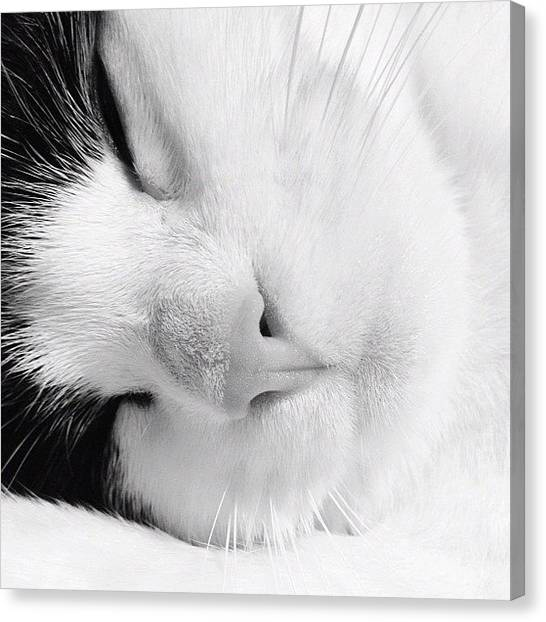 Head Canvas Print - Tier Sleeping by Rachel Williams