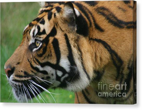 Tiger Canvas Print by Carol Wright