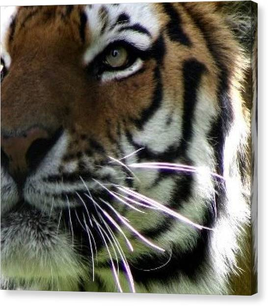 Tigers Canvas Print - #tiger #city #animals #beautiful by KLH Streets Photography
