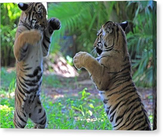 Tiger Cubs Boxing Canvas Print