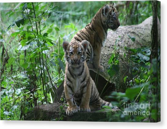 Tiger Cubs Canvas Print by Carol Wright