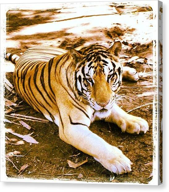 Jungles Canvas Print - Tiger by Jessica Daubenmire