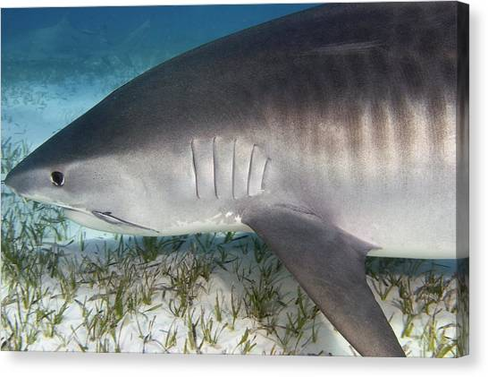 Tiger Sharks Canvas Print - Tiger Shark by Clay Coleman