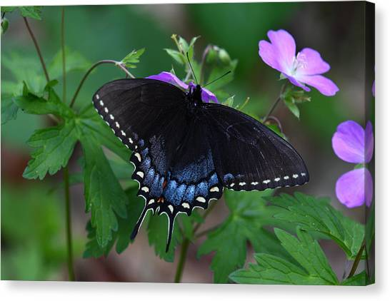 Tiger Swallowtail Female Dark Form On Wild Geranium Canvas Print