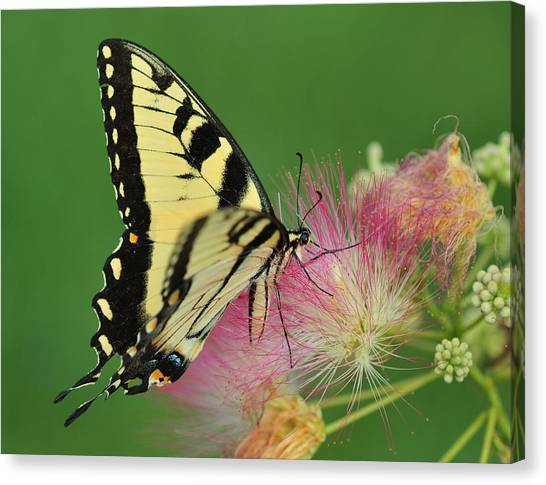 Mimosa Canvas Print - Tiger Swallowtail On Mimosa by Donna Caplinger