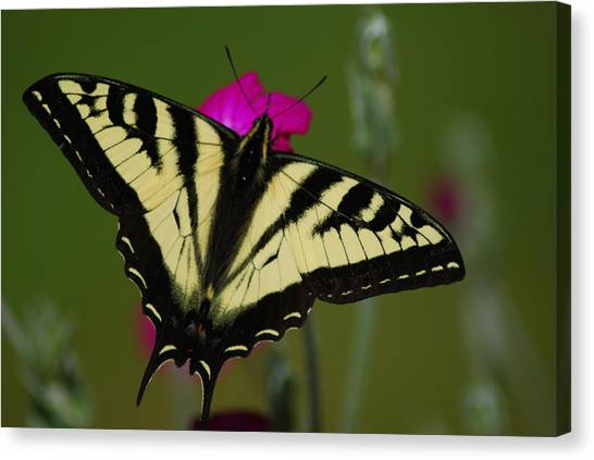 Tiger Swallowtail On Pink Canvas Print