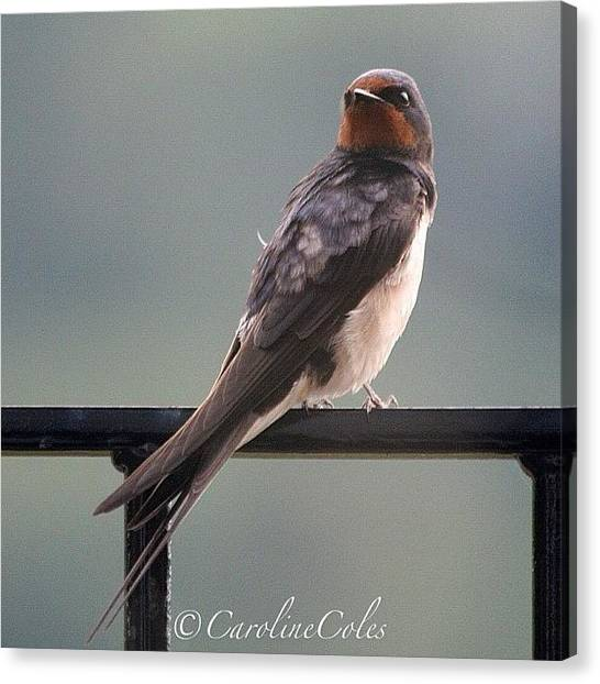 Swallows Canvas Print - Time To Go #swallow #ornithology by Caroline Coles