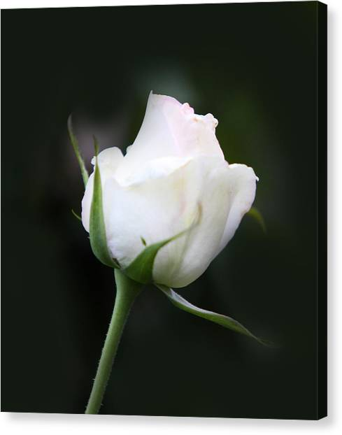 Tinted White Rose Bud Canvas Print by Linda Phelps