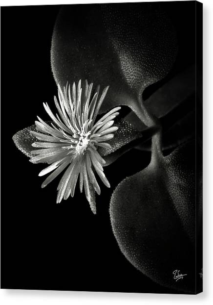 Tiny Ice Plant In Black And White Canvas Print
