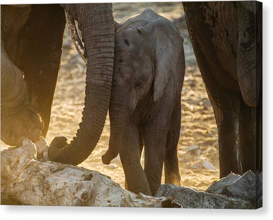 Tiny Trunk Canvas Print