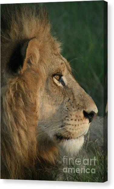 Tired Lion Canvas Print by Carol Wright