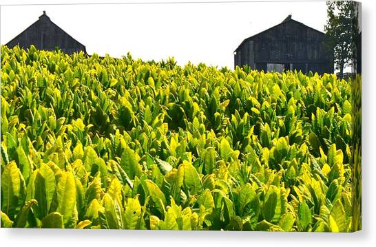 Tobacco Farm Canvas Print by Mark Bowmer