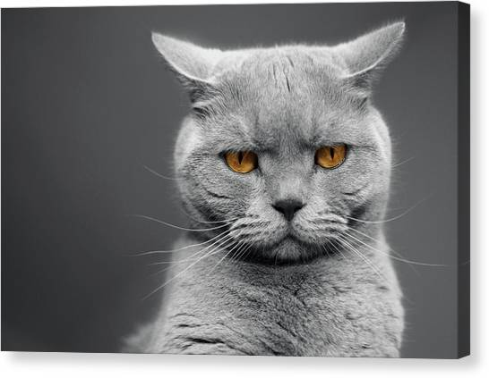 Cats Canvas Print - Tommy The Grumpy by Bhawika Nana Photography